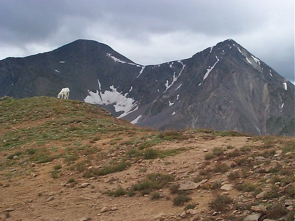 I had to walk around this goat to get to the summit.  Grays Peak and Torreys Peak provide the backdrop.