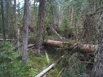 Fallen trees over the trail.