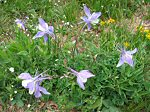 Colorado's Official State Flower - the Columbine - displays deep colors this year and was quite plentiful along the trail.