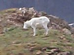 I had to share the summit (ridge) with this goat the entire time I was on top of Kelso Peak.